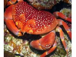 Decorator Crabs And Sea Sponges by 573 Best Braychura True Crabs Images On Pinterest Lobsters
