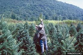 Types Of Christmas Trees Canada by Fraser Fir A Top 100 Common Tree In North America