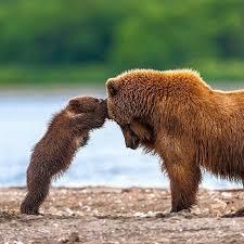 Brown Bear Clipart Papa