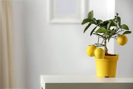 zitronenbaum überwintern standort pflege pro emit