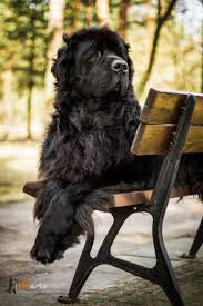 Do Newfoundlands Shed Hair by Best 25 Newfoundland Dogs Ideas On Pinterest Big Dog Breeds