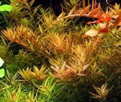 lot de plantes d aquarium de culture artisanal forum petites