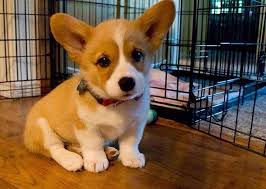 543 best Corgis for Mom images on Pinterest