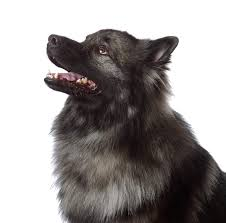 Dogs That Dont Shed Keeshond by Keeshond Dogs Breed Information Omlet