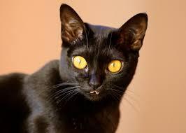 bombay cats bombay cat breed profile