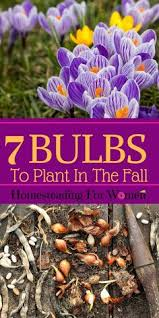 digging up storing bulbs daffodils how to store and dahlia