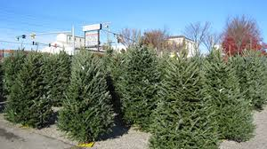 Living Trees Are Balled And Burlapped Include Norway Spruce Colorado Blue White Pine Potted Alberta