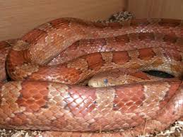 Corn Snake Shedding Signs by The Corn Snake Forum Got A Few Sneaky Girly Pics
