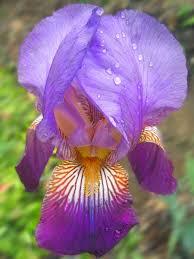 iris sicula purple bearded iris bulb in dallas home garden