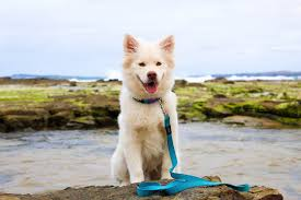 Dog Leash For The Beach & Swimming Do Female Dogs Get Periods How Often And Long Does The Period Dsc3763jpg The Best Retractable Dog Leash In 2017 Top 5 Leashes Compared Please Fence Me In Westward Ho To Seattle Traing Talk Teaching Your Come When Called Steemit For Outside December Pet Collars Chains At Ace Hdware Biglarge Reviews Buyers Guide Amazoncom 10 Foot With Padded Handle For Itt A Long Term Version Of I Found A Rabbit Wat Do