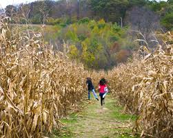 Lathrop Pumpkin Patch Maze by Get Lost In A Beautiful Corn Maze Now Beautifulnow