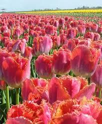 engelen tulip sunset miami fringed tulips may bloom tulips