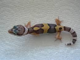 Do Baby Leopard Geckos Shed by W Midlands Baby Leopard Gecko Reptile Forums