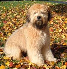 soft coated wheaten terrier puppy 11 months donny in dog form