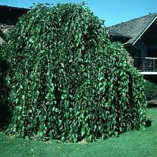 Morus Alba Chaparral CHAPARRAL WEEPING MULBERRY From Greenleaf Nursery