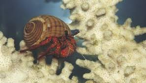 Do Hermit Crabs Shed Their Legs by What Color Should A Hermit Crab Be After Molting Animals Mom Me