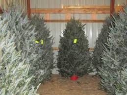 Fraser Fir Christmas Trees Nc by About Our Christmas Trees Country Christmas Trees