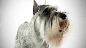 Do Giant Schnauzer Dogs Shed Hair by Relaxmydog I Music Specially Designed To Help Relax Your Dog
