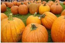 Pumpkin Patch Denver Pa by Pumpkin Patches Organic Pumpkins Near Mountain View Ca