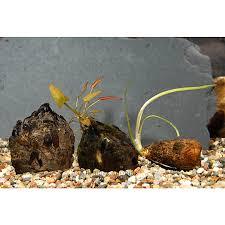top fin皰 plant bulbs fish live plants petsmart