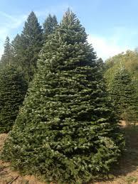 Nordmann Fir Christmas Tree by Evergreen Nursery Christmas Page 2016 Evergreen Nursery