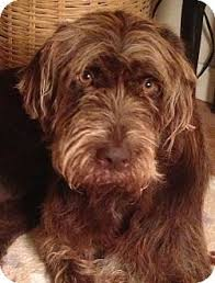 Griffon German Wirehaired Pointer Shedding by Jersey City Nj German Wirehaired Pointer Meet Mitzi Gaynor A