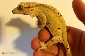 Halloween Pinstripe Crested Gecko by Super Dalmatian Crested Gecko For Sale Online Baby Super Dalmatian