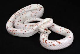 Corn Snake Shedding Signs by Corn Snake Breeding 2016 Update In 11 Eggs Are Arriving