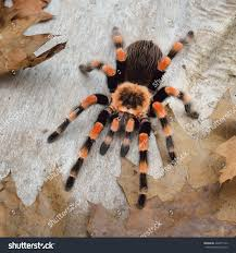 Birdeater Tarantula Spider Brachypelma Smithi Natural Stock Photo ... Zebra Tarantula Amazoncouk Grocery Papo 50190 Free Shipping Chevrolets Hydrogenpowered Stealth Truck Enlists With U S Army Video Up Close Taboo The Tarantula Madisoncom Outdoors Anyone Else Into Lowerstanced Longboard Kinda Thing Built This 1939 Chevy Dirttrack Racer Was Reborn As A Street Car Hot What Is This Guy Milwaukee Wi Hes Helping Mechanic Work On Birdeater Spider Brachypelma Smithi Natural Stock Photo Trucks Commercial Youtube Ford Black Widow Lifted Trucks Sca Performance Black Widow Boehmei Tarantulas Terrapins And Rtoises Are Bring Biology Lessons To