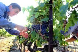 chambre d agriculture du vaucluse avignon vendanges un millésime 2013 qui s annonce prometteur