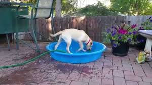 6 Month Old Labrador Retriever Puppy Attempts To Fill Her Plastic Kiddie Pool With The Water Hose