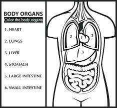 Human Organs Coloring Pages Page Lungs Printable Download Lun