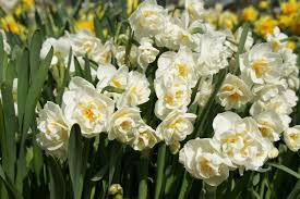 special deal narcissus bridal crown fragrant daffodils