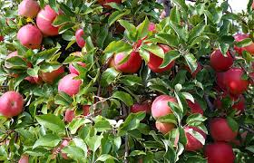 West Produce Pumpkin Patch Fayetteville Nc by Grandad U0027s Apples N U0027 Such U2014 Apples Pumpkins Corn Maze