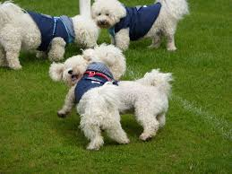Do Jackie Bichon Shed by Puppy Love Campaigns Home Facebook