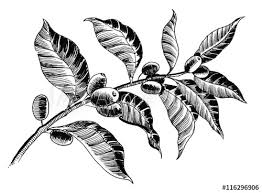 Coffee Plant Sketch