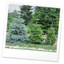 Best Type Of Christmas Tree by Choosing The Right Christmas Tree Christmas Tree Farm
