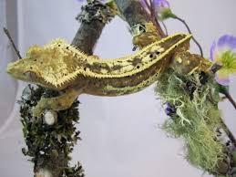 Halloween Pinstripe Crested Gecko by Crested Gecko Morph Guide The Gecko Geek