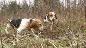 Best Hunting Dogs That Dont Shed by Rabbit Hunt With Great Dogs Youtube