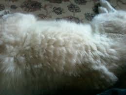 Siberian Cat Hair Shedding by Pun 17