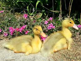 Best Duck Breeds For Pets And Egg Production   HGTV 6 Easy Tips For Duck Brooding Success Community Chickens For Making Maximum Profits From Duck Farming Business You Have To Types Of Ducks Eggs Meat And Pest Control Countryside Network Best Breeds Pets Egg Production Hgtv Your Winter Coop Keeping In Cold Weather Coop 12 Things You Should Know About Raising Ducks Or Chickens Ten Reasons Choose 132 Best Images On Pinterest Backyard What Eat And How To Care Them