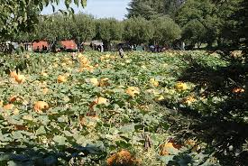 Wheatland California Pumpkin Patch by Bishop U0027s Pumpkin Farm Wheatland All You Need To Know Before