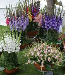 growing gladiolus in pots tips for planting gladiolus in a container