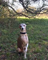 Why Is My Italian Greyhound Shedding by Lost Dog Myakka City Florida Conan