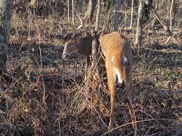 Deer Antler Shed Trap by Blue Jay Barrens Sick Deer