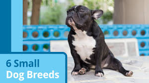 Big Dogs That Dont Shed Badly by The Truth About Teacup Dogs Petmd
