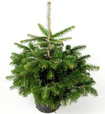 weihnachtsbaum im topf das sagt der spezialist