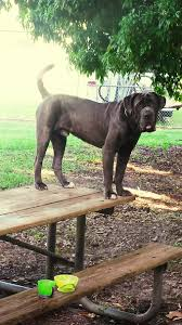 Dogs That Dont Shed A Lot by Neapolitan Mastiff Dog Breed Information Pictures