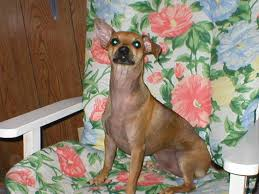 Do Miniature Doberman Pinschers Shed by Feedback Miniature Pincher Chihuahua Mix Thriftyfun