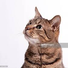 cat on domestic cat stock photos and pictures getty images